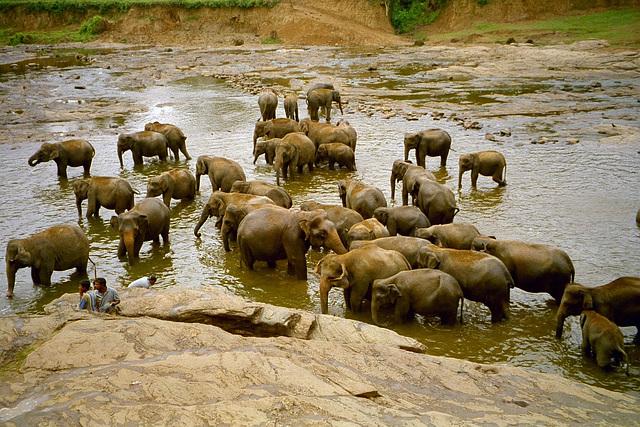 Posttagmeze la elefantoj banas sin en la rivero
