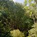 Grandega bambuo