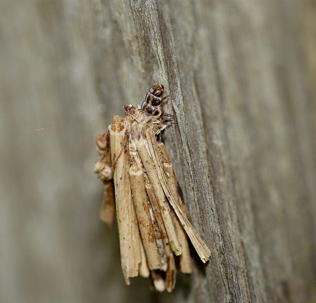 Psyche casta Moth Caterpillar