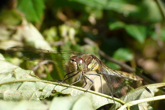 Common Darter Yellow