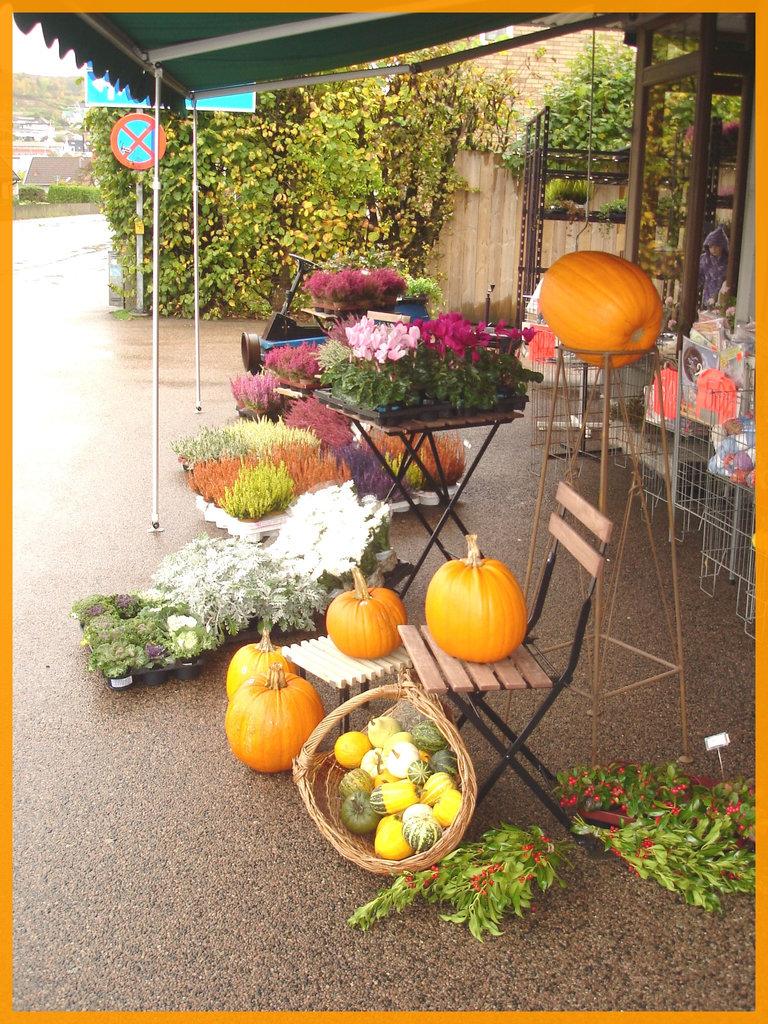 Citrouilles et fleurs / Flowers and pumpkins - Båstad / Suède - Sweden.  21/10/2008