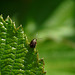 Celery Leaf Beetle