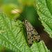 Scorpion Fly Male