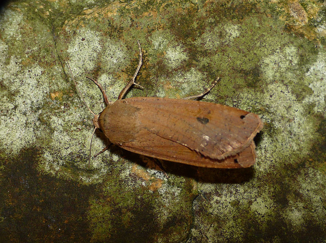 Large Yellow Underwing -Top