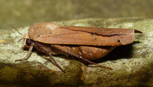Large Yellow Underwing -Side