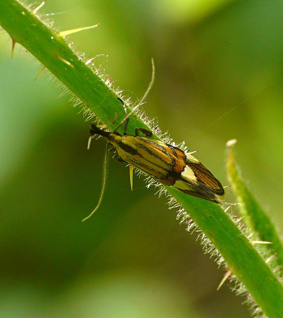 Alabonia geoffrella Moth