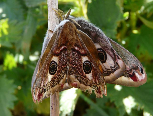 Emperor Moths -Mating Pair