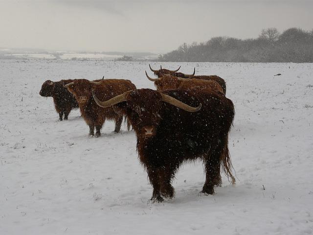 Hastings Country Park Highlanders 4