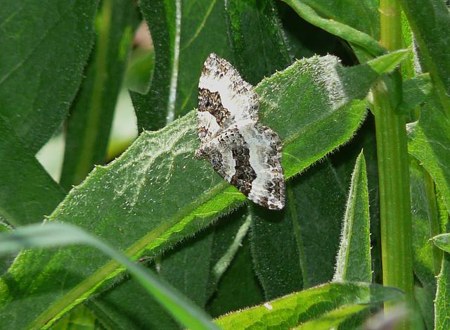 Wood Carpet Moth