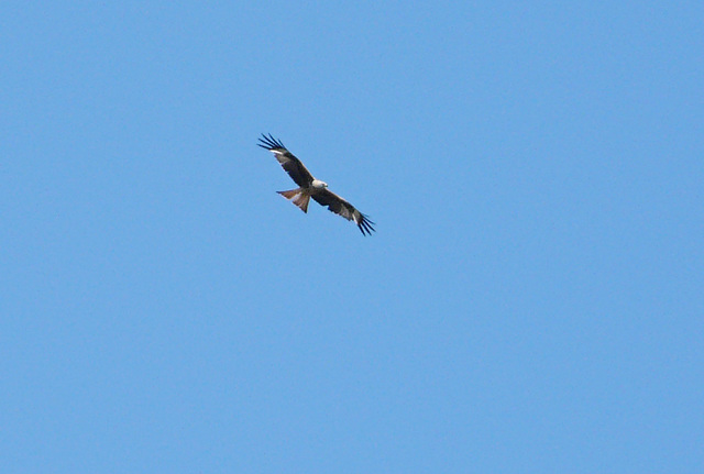 Red Kites @ Combe Haven