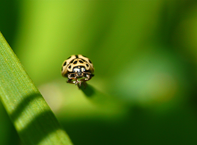 16-spot Ladybird Tytthaspis 16-punctata
