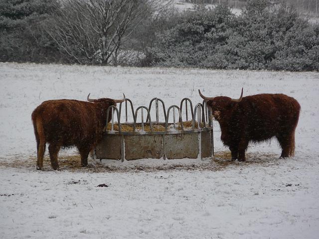 Hastings Country Park Highlanders 3