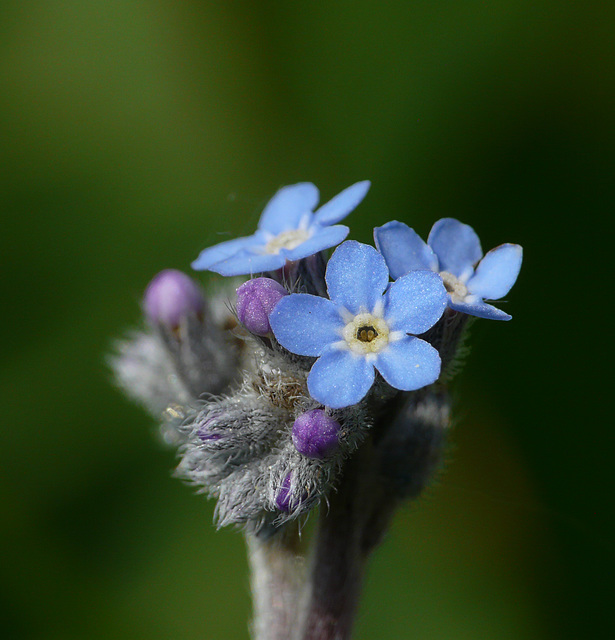 Forget-me-not Tiny