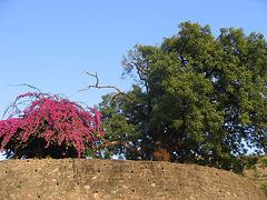 Tree and bougainvillea