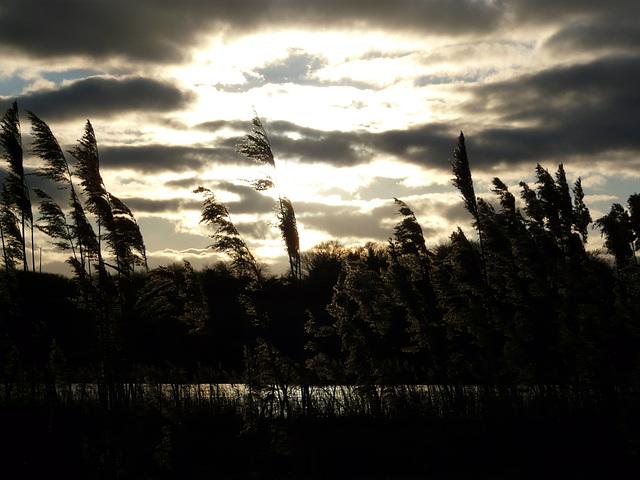 Reeds at Dusk