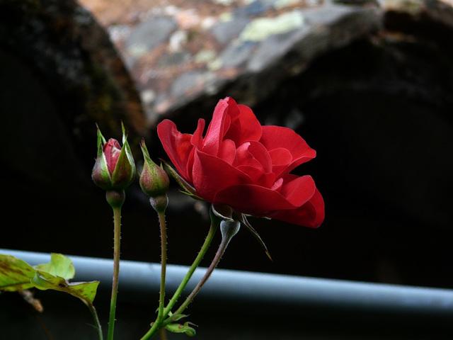 Rose automnale