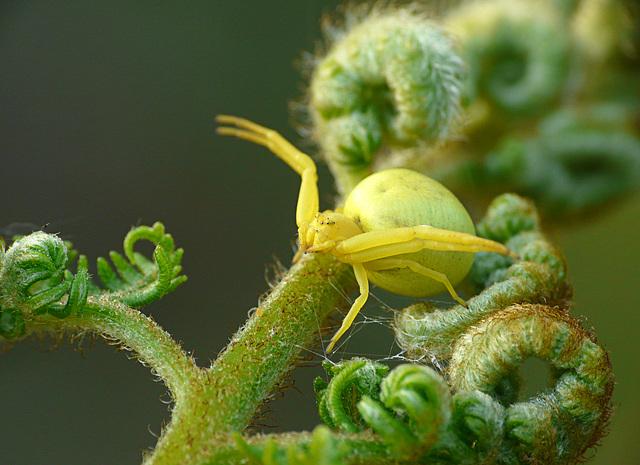 Crab Spider -Yellow