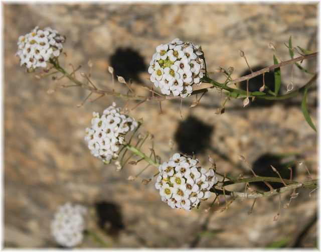 Blütenkugeln
