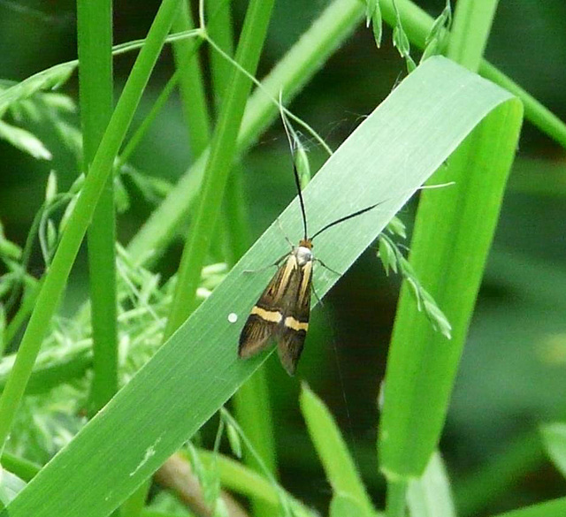 Nemophora degeerella -Female