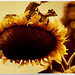 Autumn sunflower