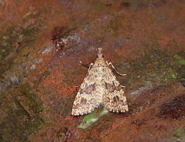 Twenty-plume Moth