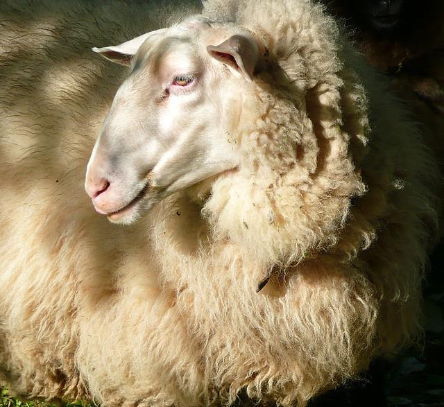 Ich bin ein Schaf - na und - mi estas ŝafo - nu - kio do