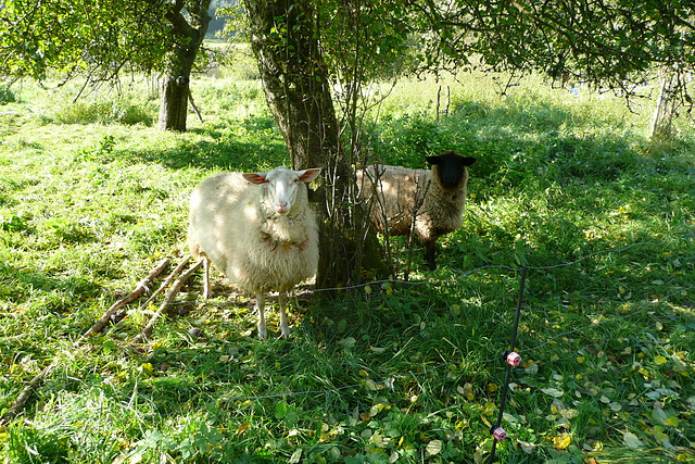 Wir sind zwei Schafe - na und -