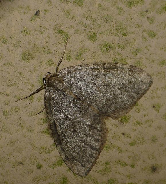 November Moth