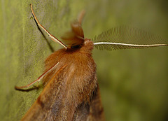 Feathered Thorn -Male