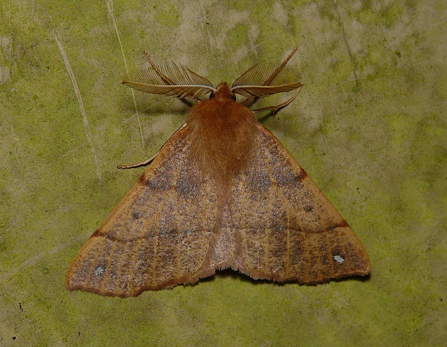 Feathered Thorn -Top