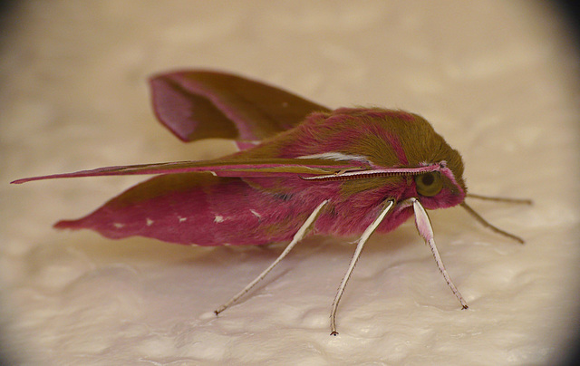 Reared Elephant Hawk Moth -Ella Side