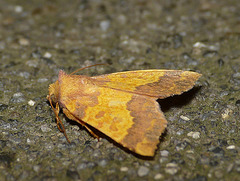 Barred Sallow -Side