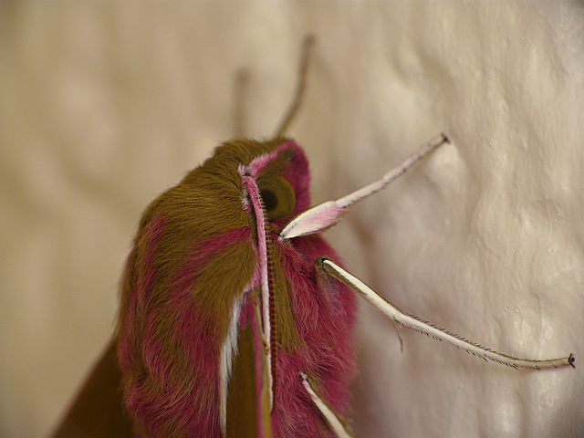 Reared Elephant Hawk Moth -Ella Face