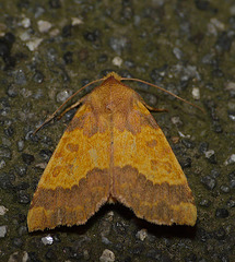Barred Sallow -Top