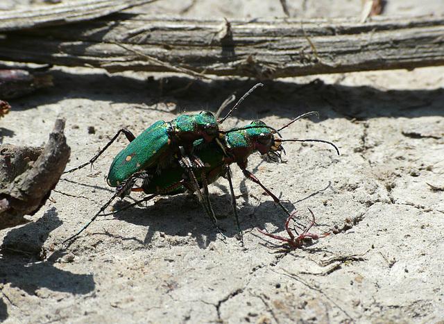 Green Tiger Beetles Mating pair
