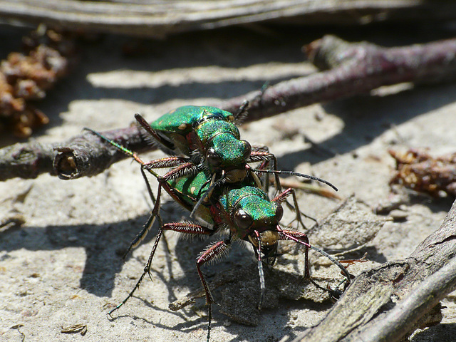 Green Tiger Beetles