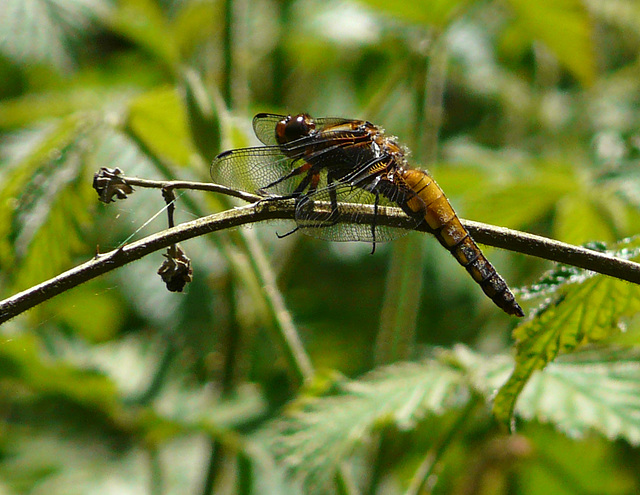 Broad-bodied Chaser - Female Side