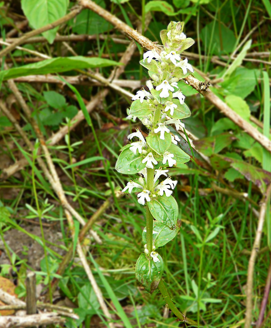 White Bugle Plant