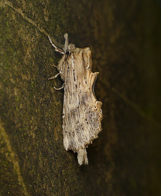 Pale Prominent