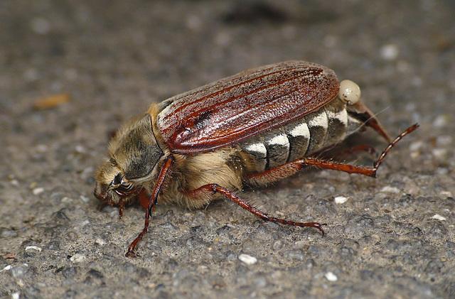 Cockchafer Beetle Side