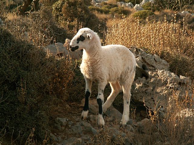 Gramvoussa Lamb