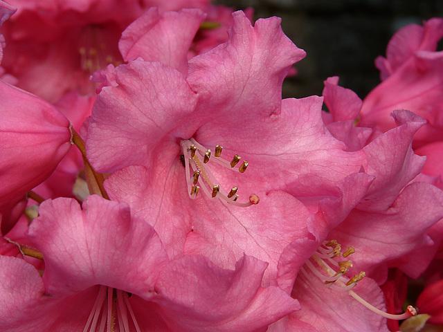 Garden Rhododendron