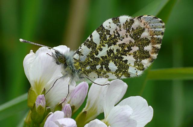 Orange-tip Butterfly Male