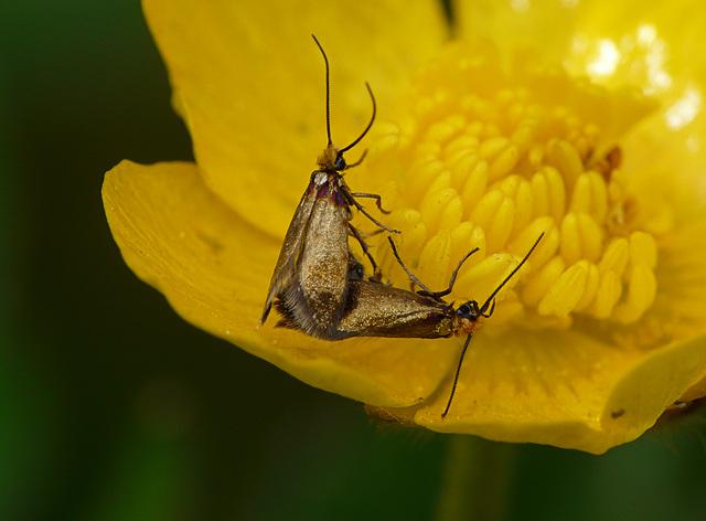 Micropterix calthella Mating Pair