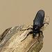 St Mark's Fly -Female