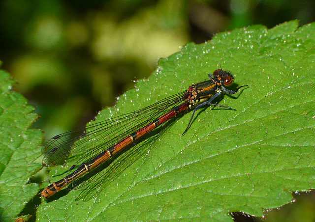 Large Red Damselfly -Male