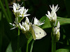 Green-veined Butterfly