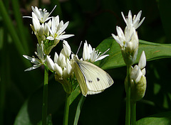 Green-veined Butterfly