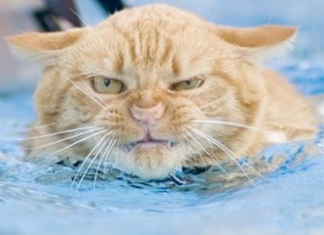 Chat très en colère : n'aime pas l'eau !