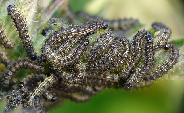 Small Tortoiseshell Caterpillars